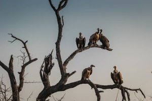 vultures-1081751_960_720